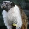 Yoda-Monkey