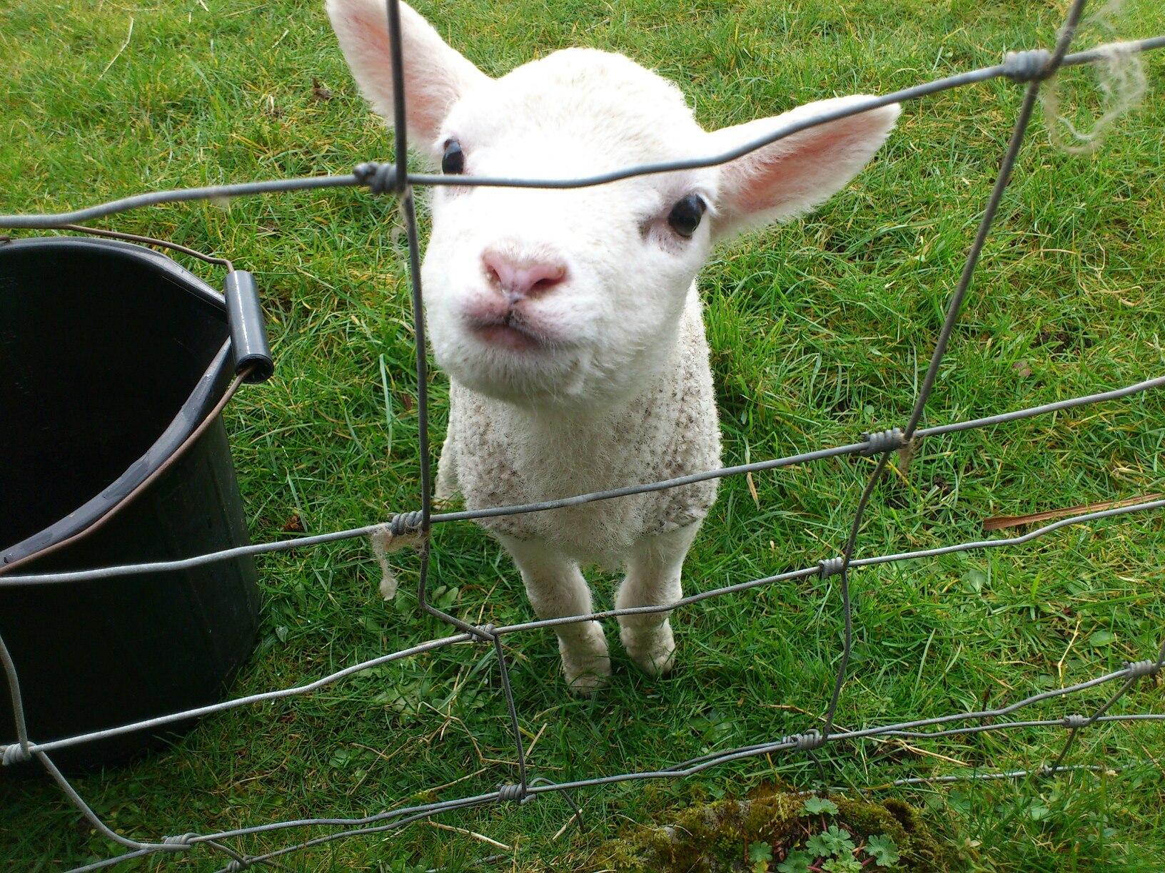 Nicola had a little lamb!