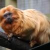Orange-Monkey