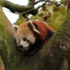Red-Panda