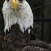 eagle010