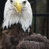 eagle011