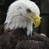 eagle012