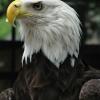 eagle014