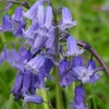 bluebells1-large
