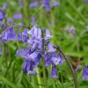 bluebells2-large