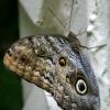 butterfly011