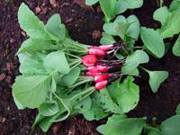radishes2